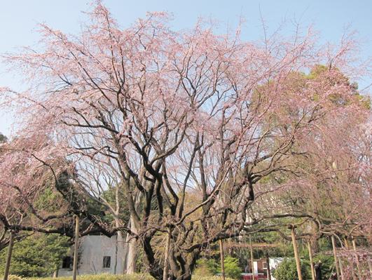 rikugi_shidare.jpg
